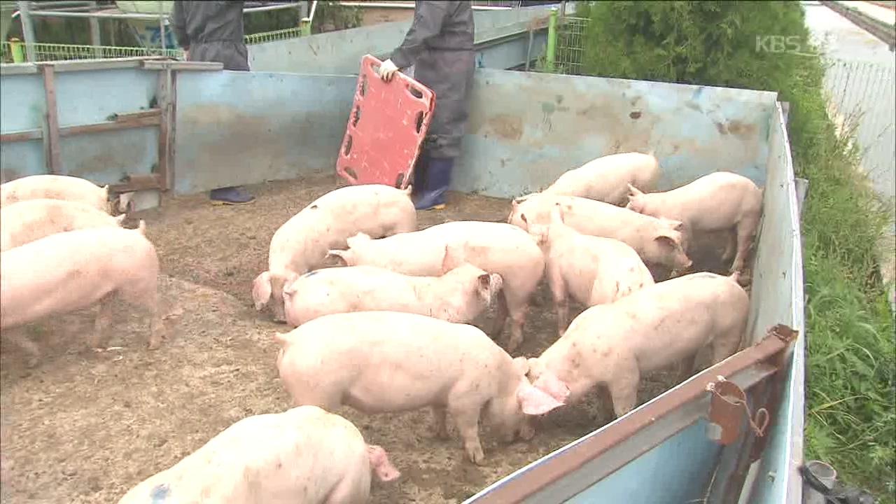 아프리카 돼지열병 방역 비상