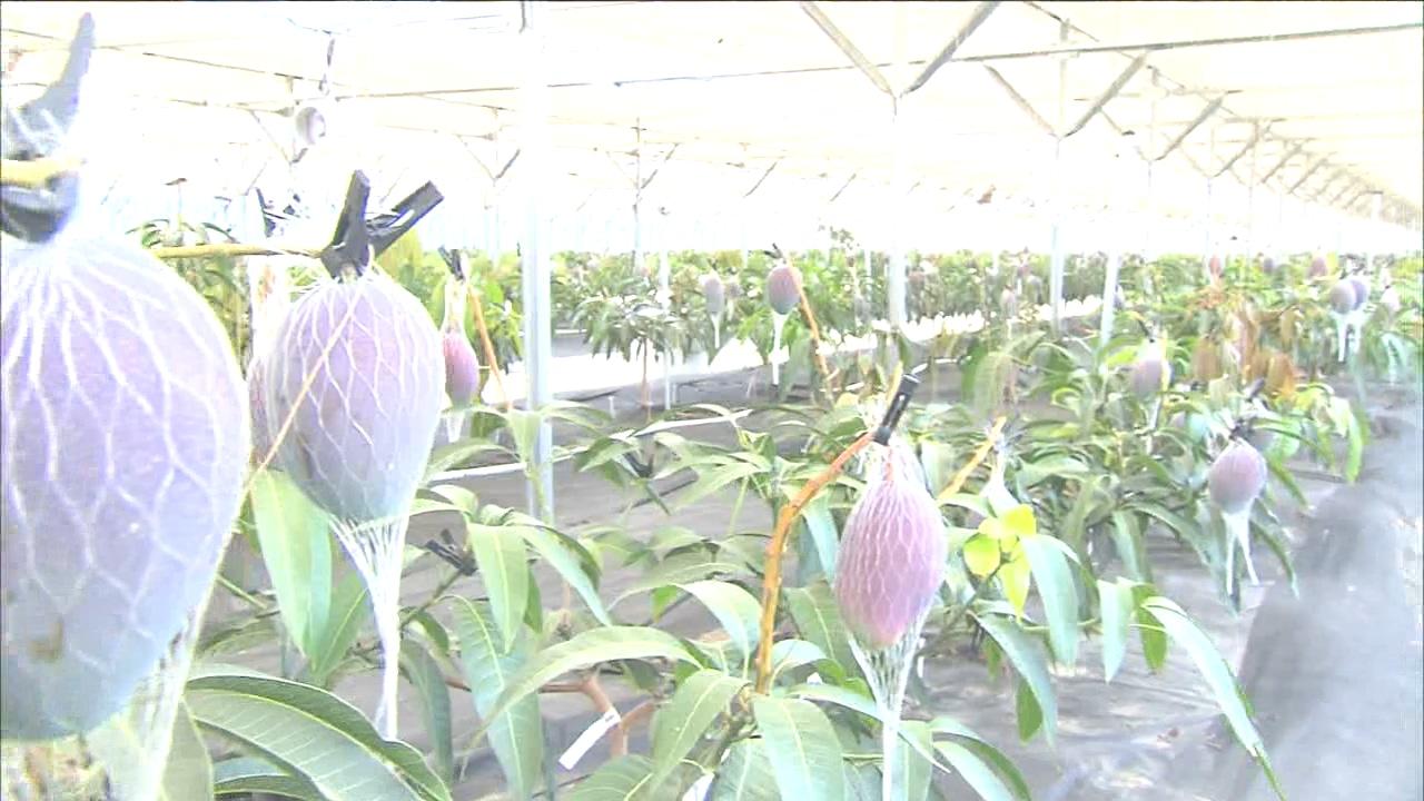 열대 과일 재배 확산...'고소득' 주목