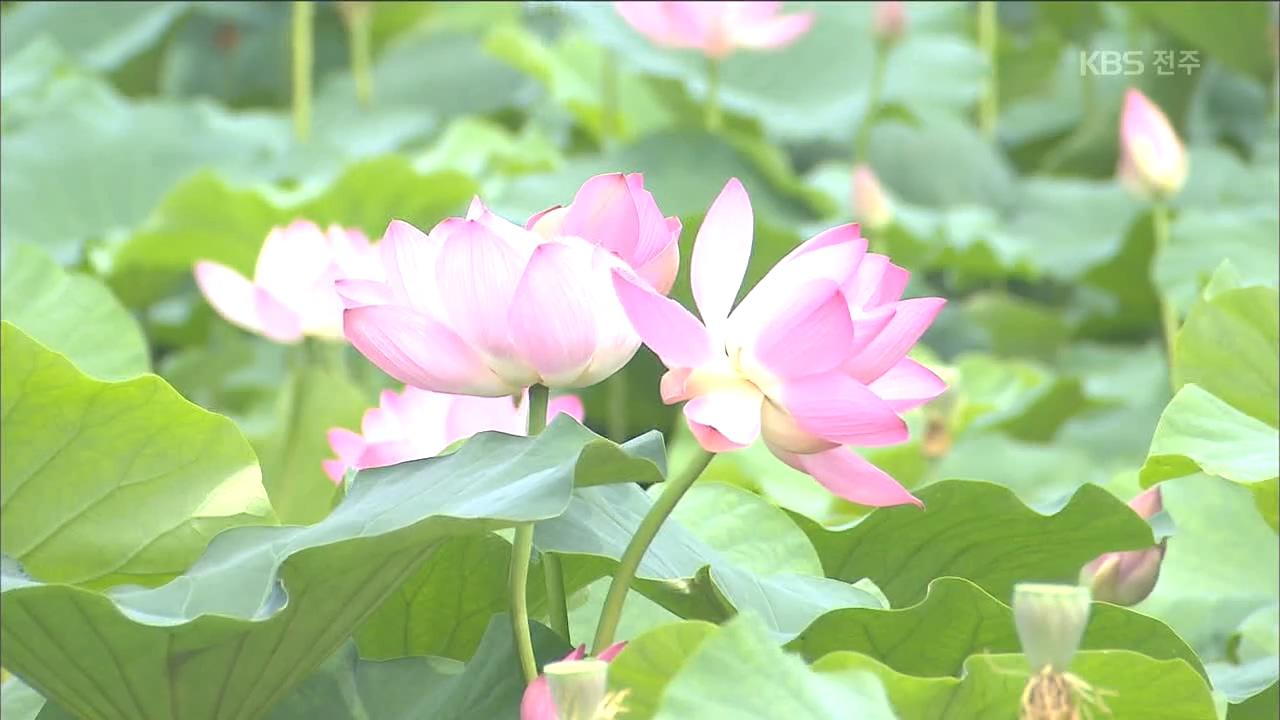연꽃 만개한 호수..여름 정취 '만끽'